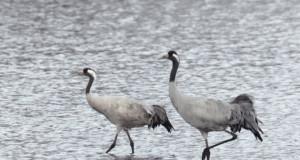 Ensimmäiset kurjet saapuivat varhain maaliskuun lopulla, nyt niitä näkee pareittain eri puolilla Kangasalaa. Kuvan linnut kahlailivat peltolätäköllä Pakkalassa.