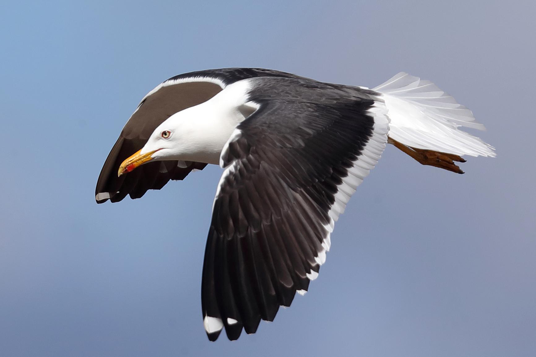 Aikuisen selkälokin eleganssia. Laji on erinomainen lentäjä, se talvehtii Afrikan länsiosissa.