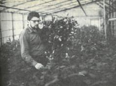 Puutarhuri Seppo Honkanen leikkaamassa ruusuja. Niitä on jo sylin täydeltä.