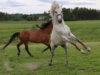 Tunnetko sinä Kangasalan? Vastaa visaisiin kysymyksiin. Kangasalla on hevosvoimaa, sen todistaa Janne Kähkösen kuvakin.