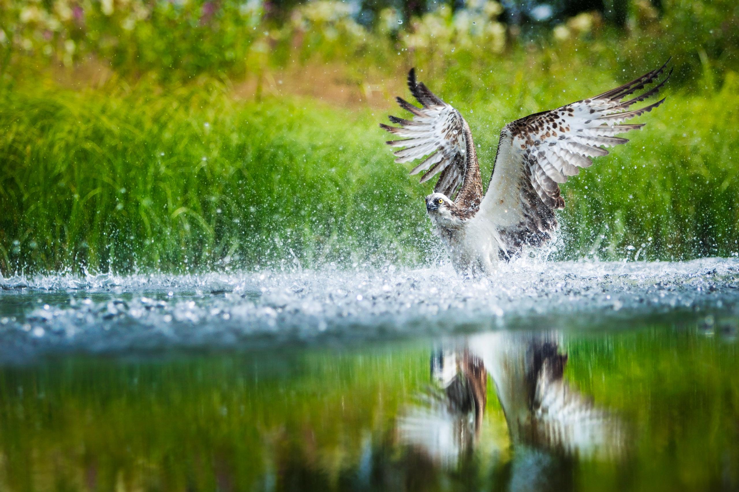 Tunnetko sinä Kangasalan? Vastaa visaisiin kysymyksiin. Kuvassa kalasääksi saalistamassa Pohtiolammella. Kuva: Tero Hakala/ Studio Pelisalmi