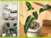 Janette Nieminen on hankkinut kasveilleen vitriinin, jotta pystyy tarjoamaan niille mahdollisimman otolliset kasvuolosuhteet. Oikeanpuoleisessa kuvassa Syngonium wendlandii. Kuvat: Janette NIeminen