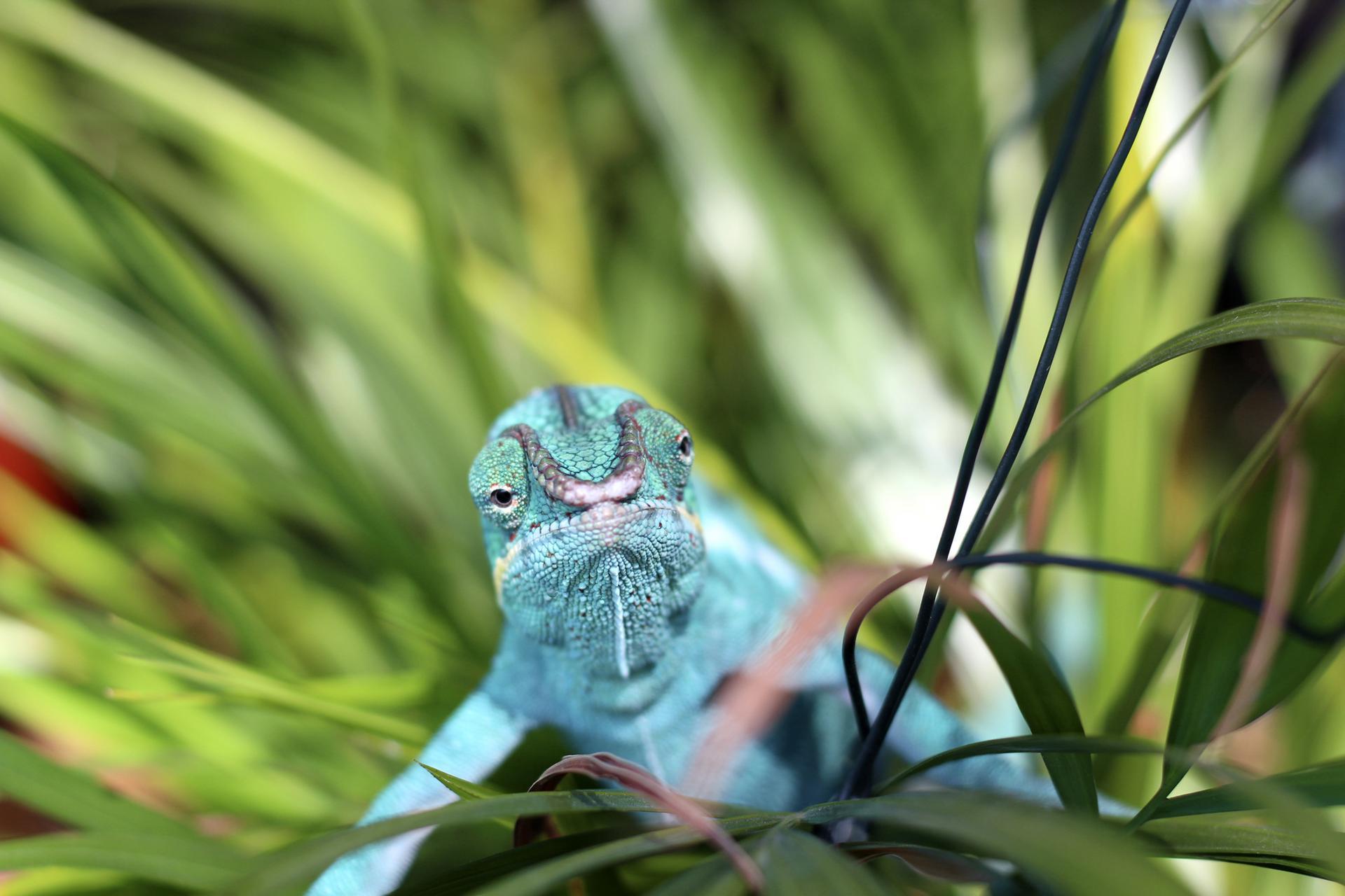 Pantterikameleontti
