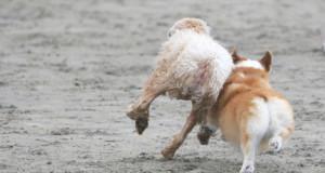 Koirapuistossa koirat pääsevät vapaasti juoksentelemaan ja leikkimään keskenään. Lentolan koirapuistoon on suunniteltu erilliset aitaukset pienille ja isoille koirille. Kuva: Iclipart