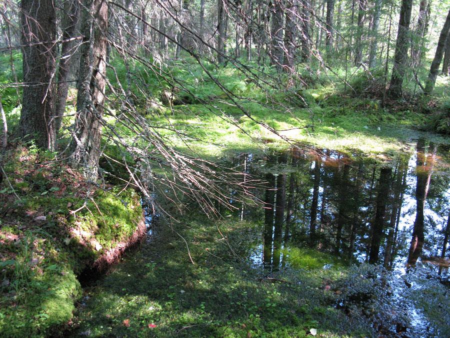 Tyypillisesti lähteet erottuvat ympäristöstään rehevämmän kasvillisuuden ansiosta. Kuvassa pohjaveden purkauma muodostaa allikkolähteen. Kuva: Emmi Lehkonen.