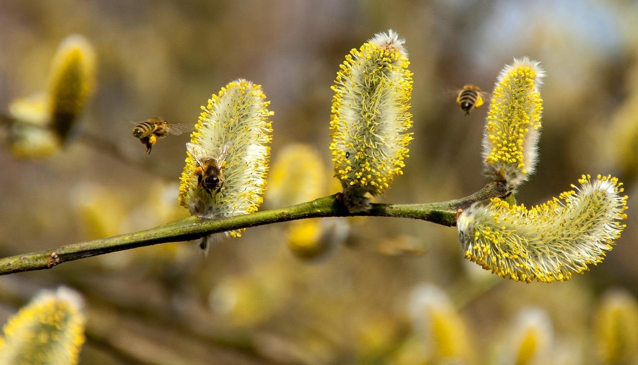 Paju aiheuttaa allergiaoireita vain harvalle suomalaiselle Helsingin Allergia- ja Astmayhdistyksen mukaan. Kuva: Pixabay