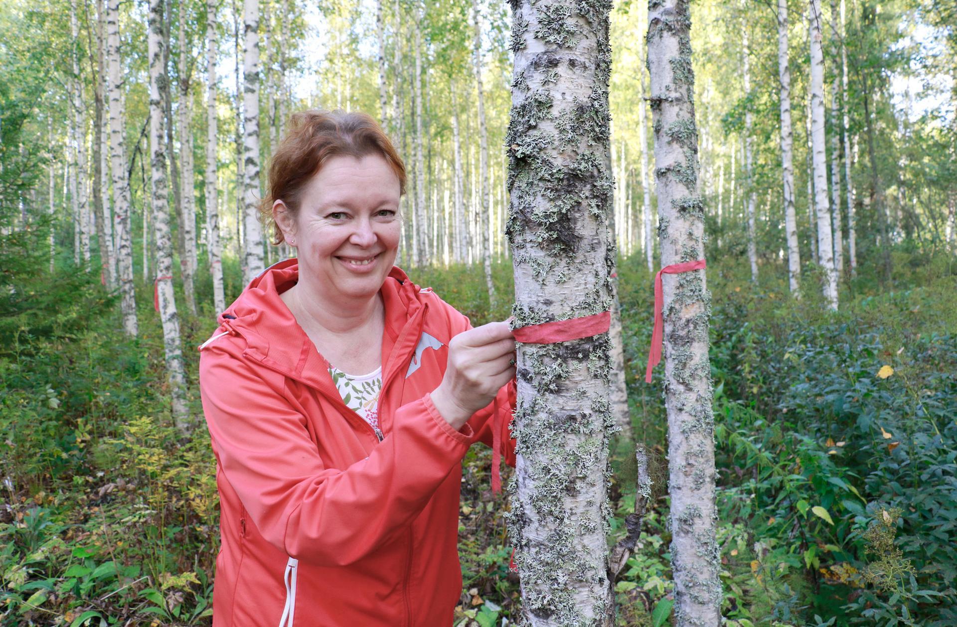Outi Pettersson kiinnostui pakurikääpien kasvattamisesta vuosi sitten. Viljelmästä tuli totta muutama viikko sitten. Punaiset merkkinauhat kertovat, mitkä rungot on valjastettu kääpien kasvualustoiksi.