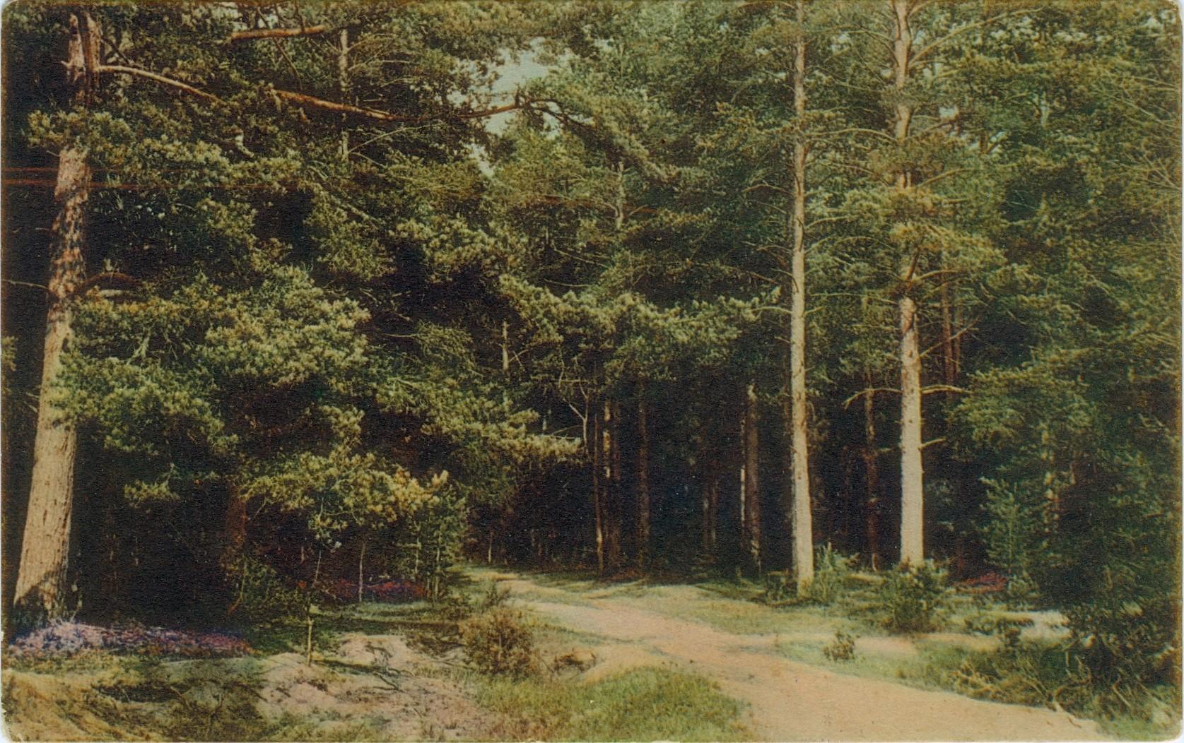 Metsiin, tiettömien taipaleiden taakse oli helppo piiloutua viholliselta. Metsämaisema Kangasalta 1900-luvun alussa.