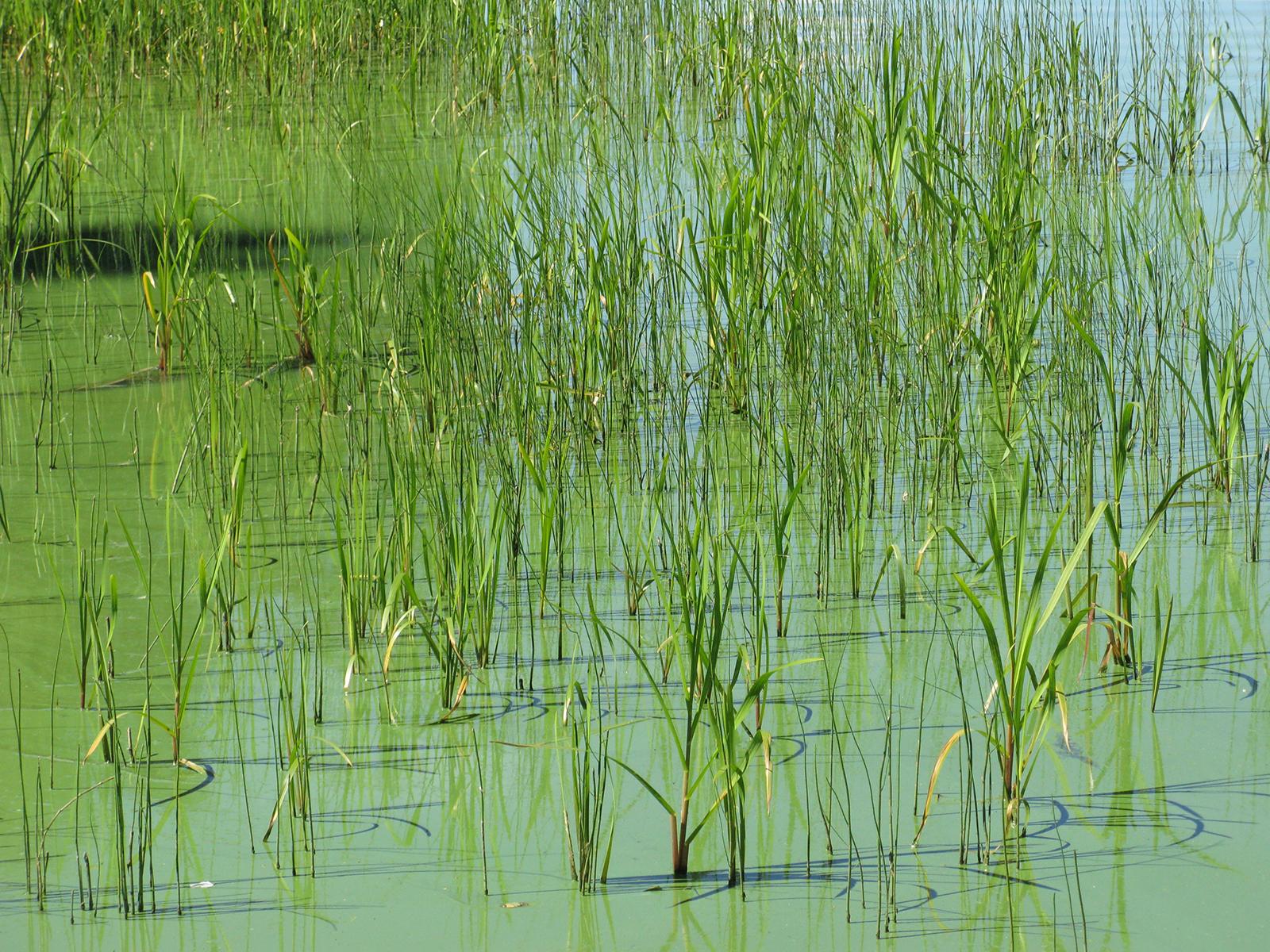 Monessa Pirkanmaan järvessä esiintyy nyt sinilevää. Kuva: Jussi Iso-Tuisku