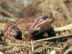 Tavallinen sammakko ja viitasammakko muistuttavat suuresti toisiaan ulkonäöltään. Parhaiten ne tunnistaa äänistä.
